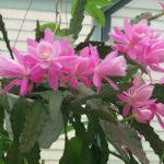 Disocactus phyllanthoides (German Empress)