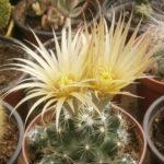 Escobaria missouriensis - Missouri Foxtail Cactus
