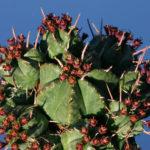 Euphorbia pulvinata - Pincushion Euphorbia
