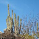 Jasminocereus thouarsii – Candelabra Cactus