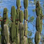 Jasminocereus thouarsii - Candelabra Cactus