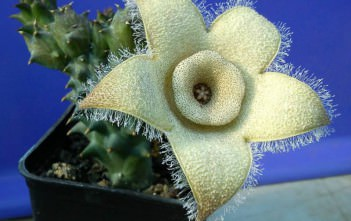 Orbea ciliata (Stapelia ciliata) - Starfish Stapelia, Double Crown