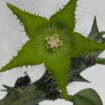 Orbea dummeri (Stapelia dummeri)