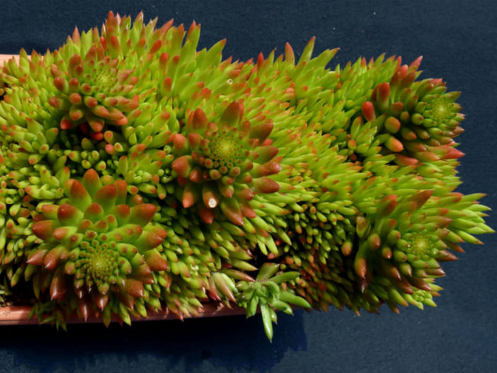 Orostachys japonica - Rock Pine