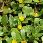 Portulaca oleracea - Common Purslane