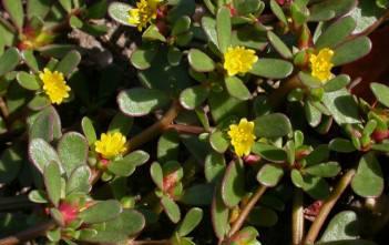 Portulaca oleracea (Common Purslane)