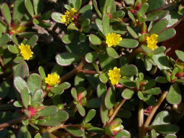 Portulaca Oleracea Common Purslane Moss Rose World Of