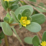 Portulaca oleracea (Common Purslane)