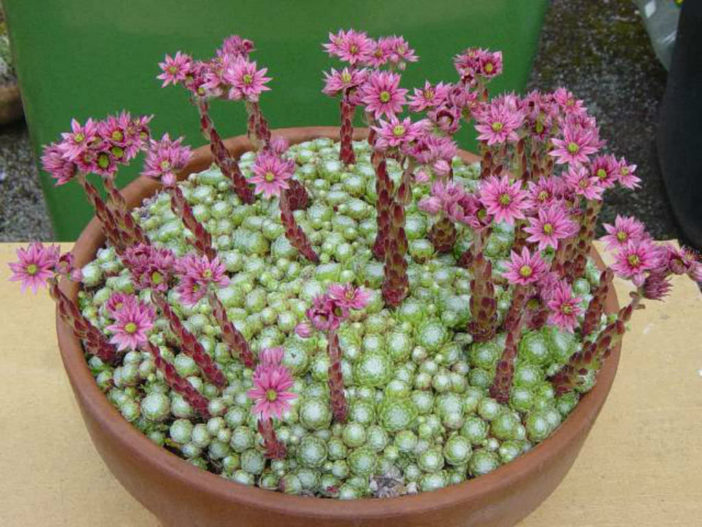 Grow Sempervivum arachnoideum