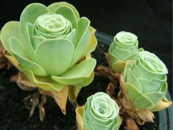 Aeonium aureum - Green Rose Buds