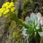 Aeonium aureum (Green Rose Buds) aka Greenovia aurea