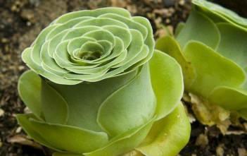 Aeonium aureum (Green Rose Buds)