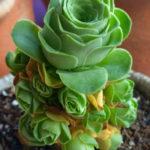 Aeonium dodrantale (Greenovia dodrantalis)