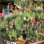 Kumara plicatilis (Fan Aloe)