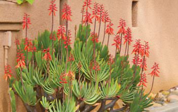 Aloe plicatilis - Fan Aloe