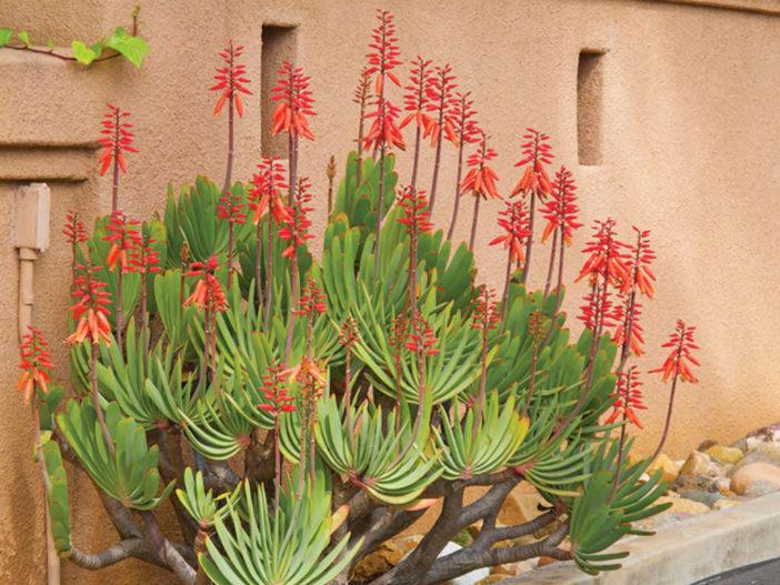Kumara plicatilis (Fan Aloe) aka Aloe plicatilis