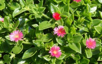 Aptenia cordifolia (Baby Sun Rose)