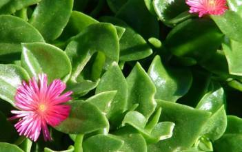 Aptenia cordifolia - Baby Sun Rose, Heartleaf Iceplant