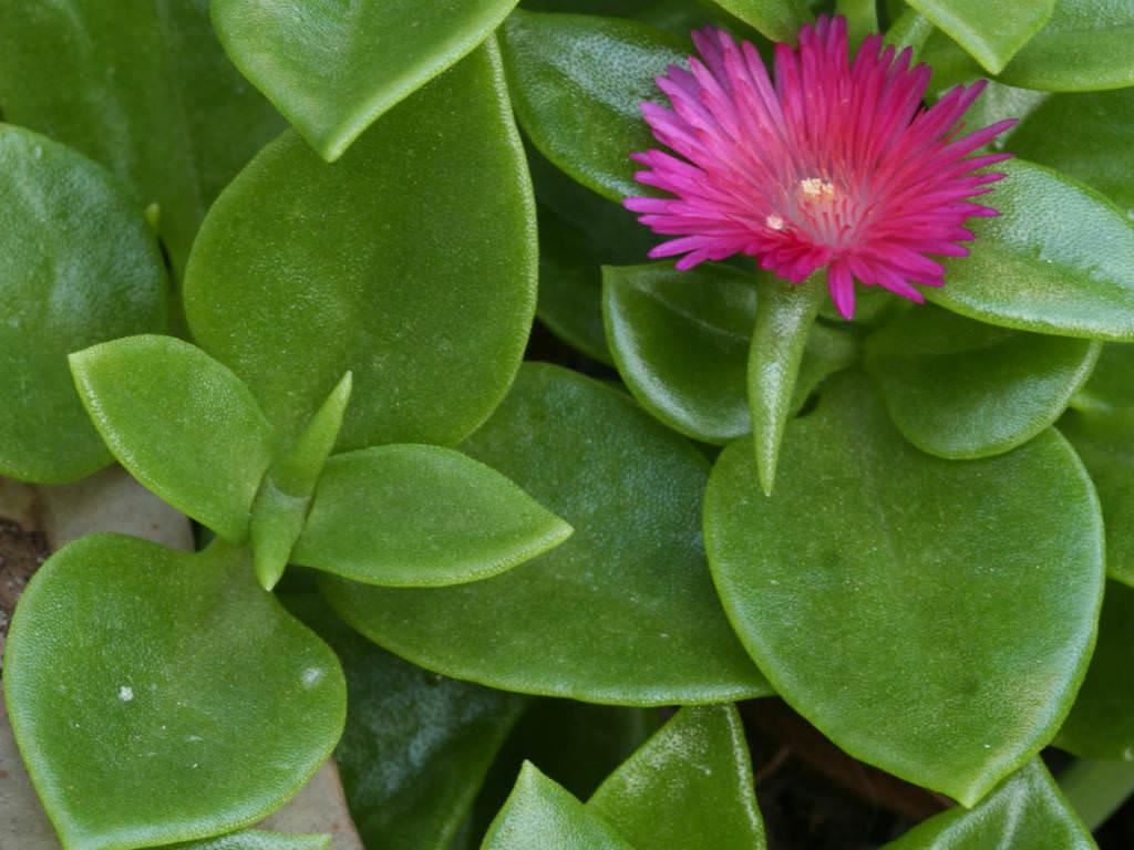 Aptenia Cordifolia Baby Sun Rose Heartleaf Iceplant