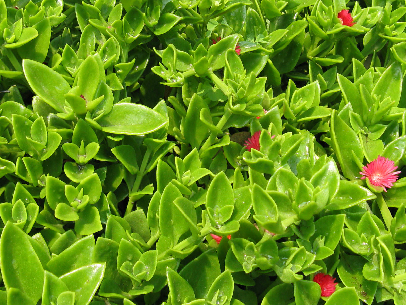 Garden Bush: Baby Sun Rose, Heartleaf Iceplant