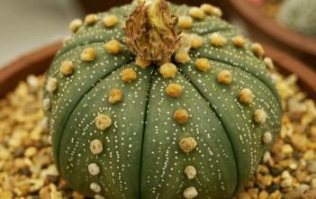 Astrophytum asterias - Sand Dollar Cactus, Star Cactus