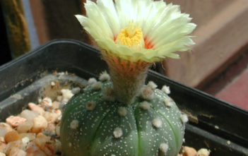 Astrophytum asterias (Sand Dollar Cactus)