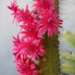 Cleistocactus samaipatanus - Flowers