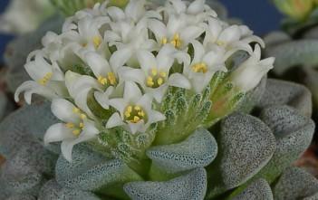 Crassula mesembrianthemopsis-Flowers