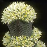 Crassula pyramidalis - Pagoda Mini Jade