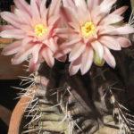 Gymnocalycium mihanovichii - Chin Cactus, Plaid Cactus