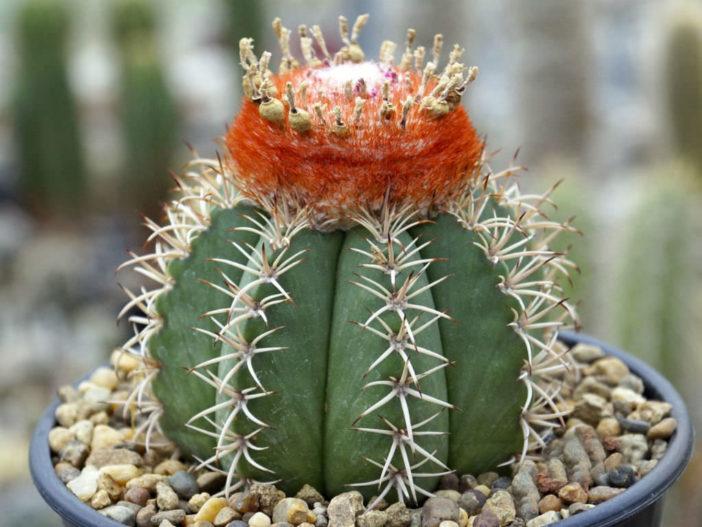 Melocactus matanzanus - Dwarf Turk's Cap Cactus