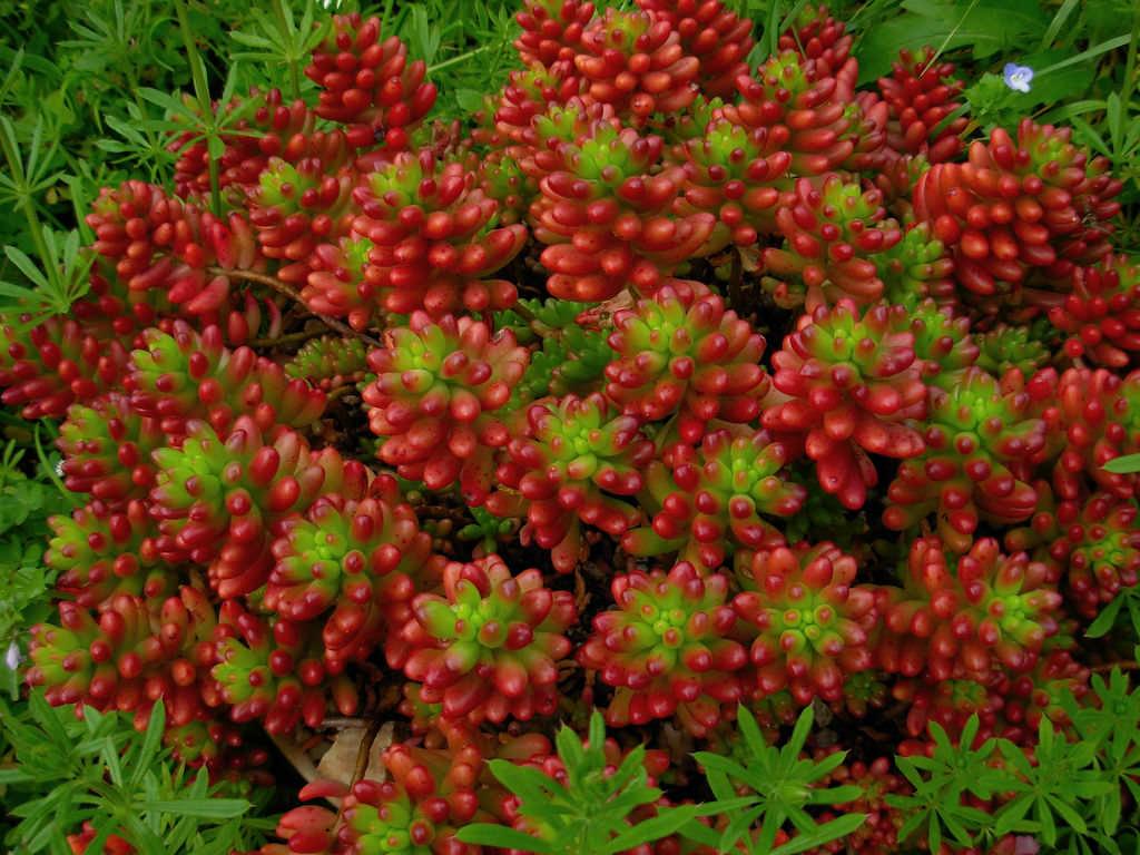 Sedum rubrotinctum jelly bean plant world of succulents for Less maintenance plants