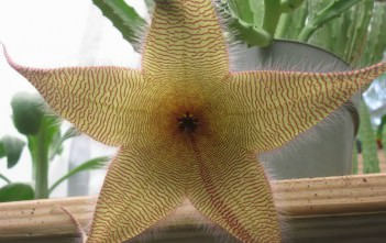 Stapelia gigantea - Starfish Flower, Zulu Giant