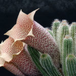 Tavaresia barklyi (Thimble Flower)