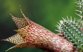Tavaresia barklyi - Thimble Flower, Devil's Trumpet