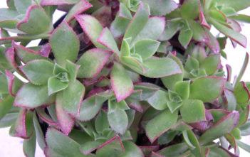 Aeonium decorum (Green Pinwheel)
