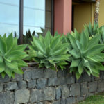 Agave attenuata - Fox Tail
