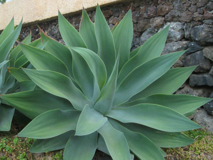 Agave attenuata (Fox Tail Agave)