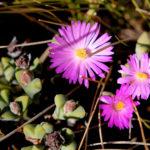 Braunsia apiculata - Ice Plant