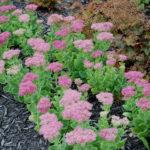 Hylotelephium spectabile (Sedum spectabile) - Showy Stonecrop