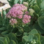 Hylotelephium spectabile (Showy Stonecrop) aka Sedum spectabile