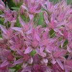 Hylotelephium spectabile (Sedum spectabile) - Showy Stonecrop, Butterfly Stonecrop