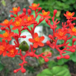 Jatropha podagrica (Buddha Belly Plant)