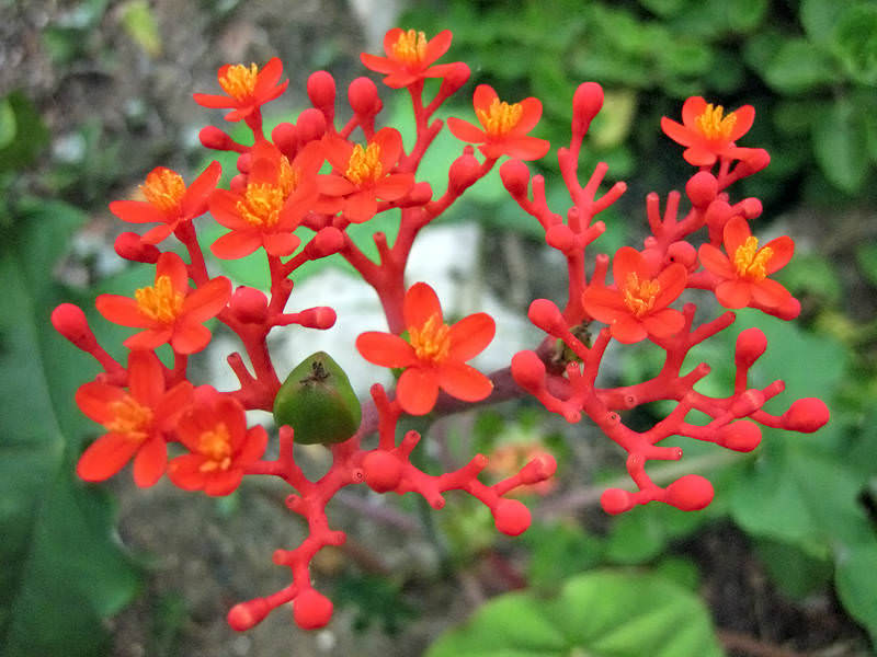 Jatropha Podagrica Buddha Belly Plant World Of Succulents