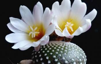 Blossfeldia liliputiana (Blossfeldia liliputana)