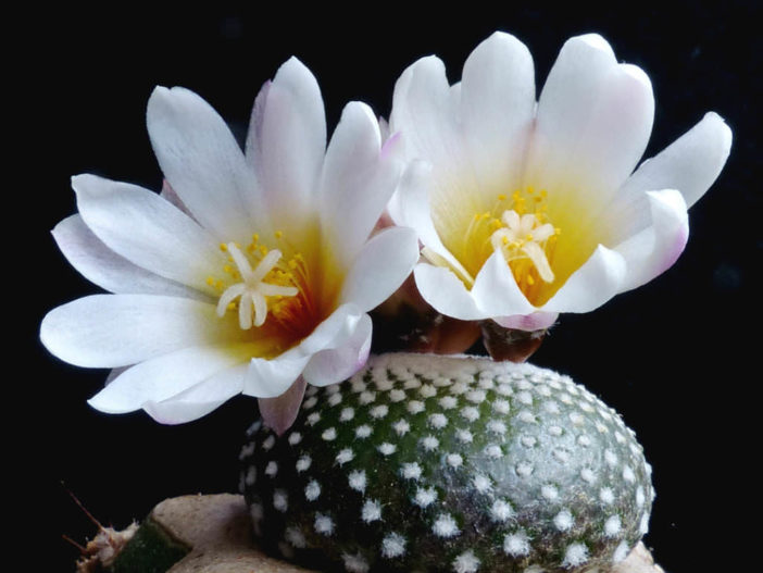 Blossfeldia liliputiana