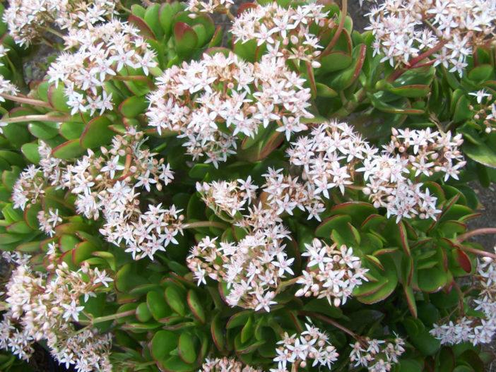 Crassula ovata - A Perfect Present for a Friend