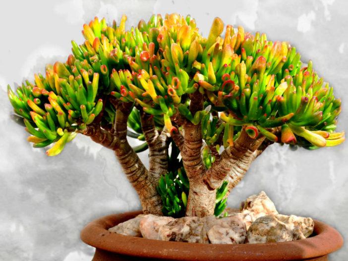 Crassula ovata 'Gollum' - Gollum Jade
