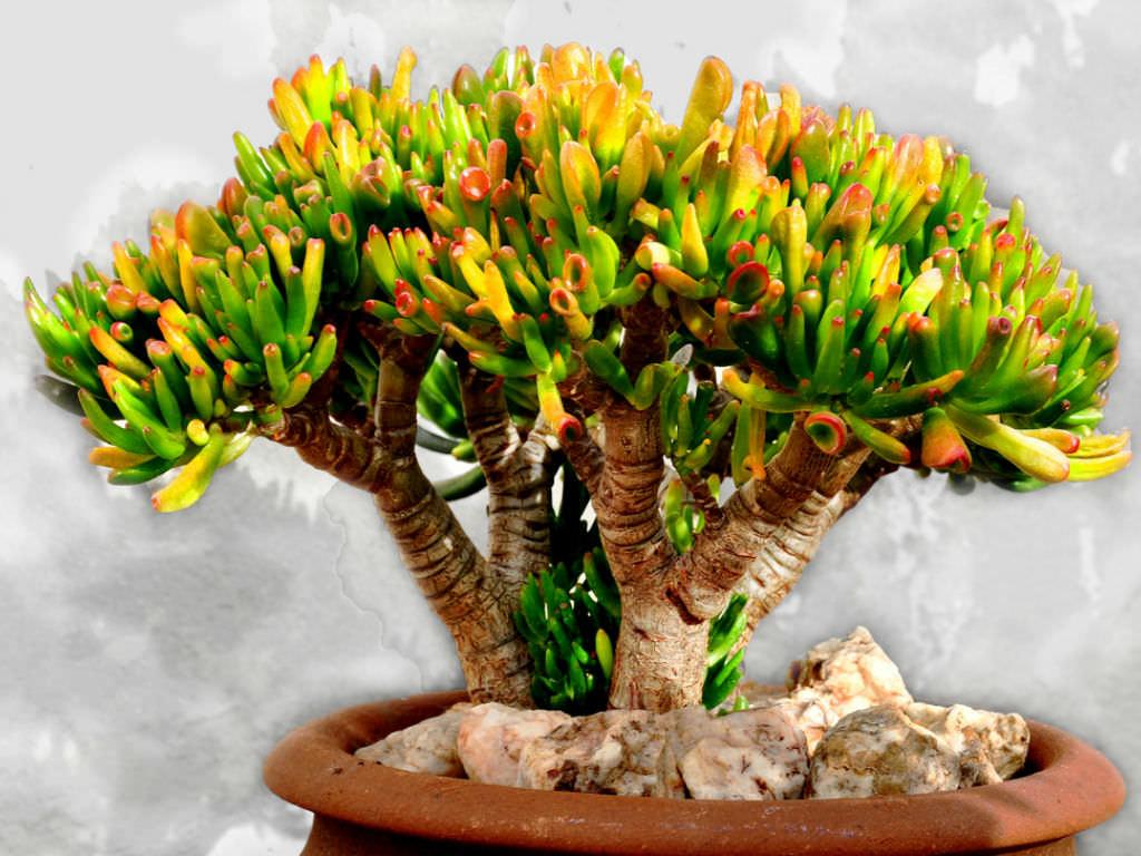 Crassula ovata'Gollum' (Gollum Jade) World of Succulents ~ 01154216_Sukkulenten Crassula Ovata Gollum