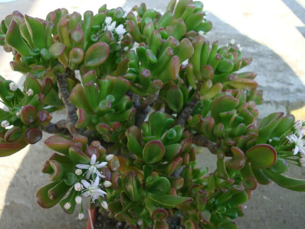 """Picture of 2 (TWO) Crassula ovata Hobbit Live Succulent Plant Fit 4"""" Pot"""